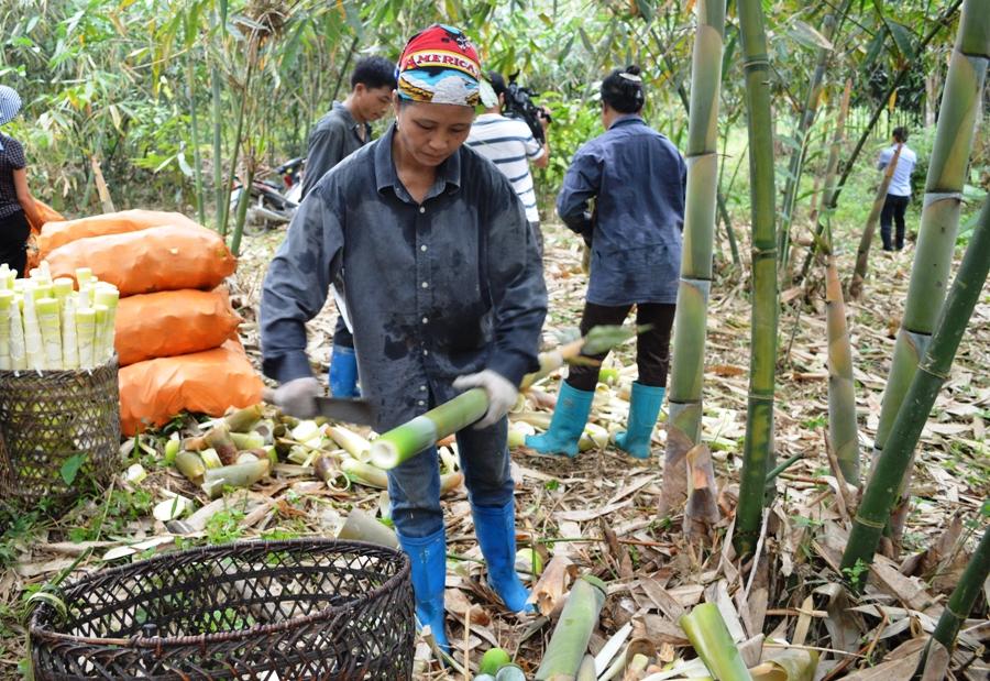 Nhiều mô hình phát triển sản xuất có hiệu quả được hình thành như mô hình trồng tre măng Bát Độ