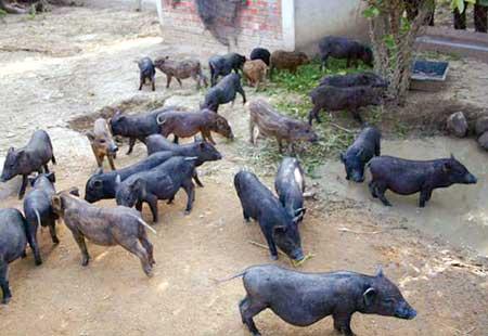 """Lợn""""cắp nách"""" người Mông"""